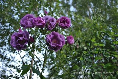 Blue Moon Roses