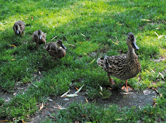 Make Way for Ducklings with Real Ducks