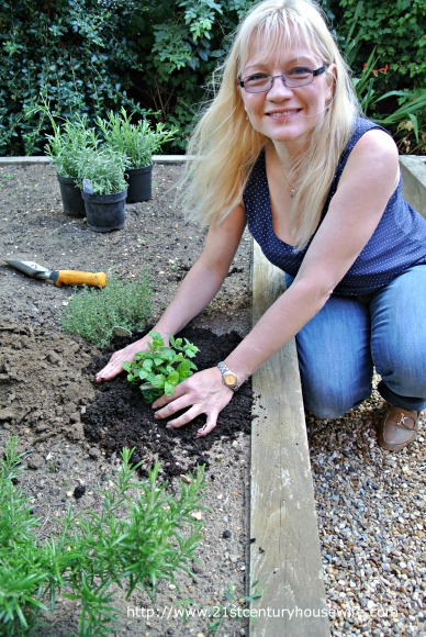 Planting mint in the garden