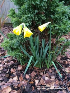 Early blooming daffodils